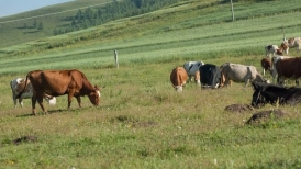 马山肉牛养殖基地