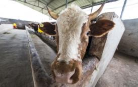 马山肉牛养殖